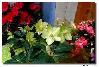 Hellebores ou Roses de Noel dans Fleurs mini_07122510444448731546394