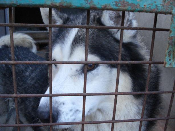 DIABOLO - mâle husky environ 7 ans - malade 080212010325210241710173