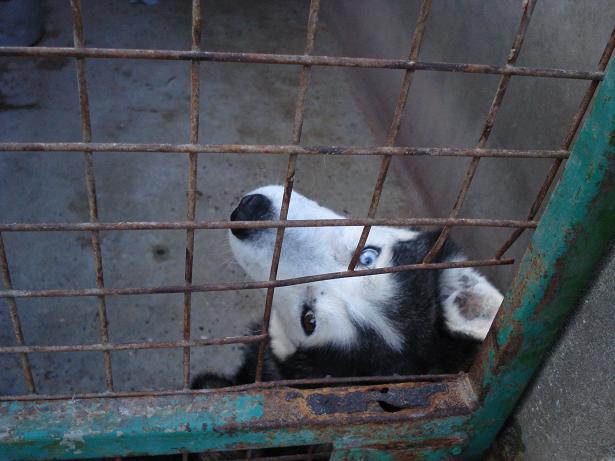 DIABOLO - mâle husky environ 7 ans - malade 080212010702210241710182