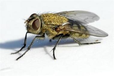 Cette mouche peut-elle vraiment engendrer des troubles de la sexualité ?