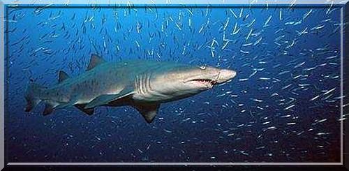 ...Sand shark) с длинными, тонкими, как кинжалы, зубами, загнутыми внутрь.
