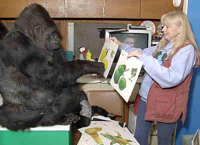 Koko est à l'initiative d'un film intitulé Koko le gorille qui parle