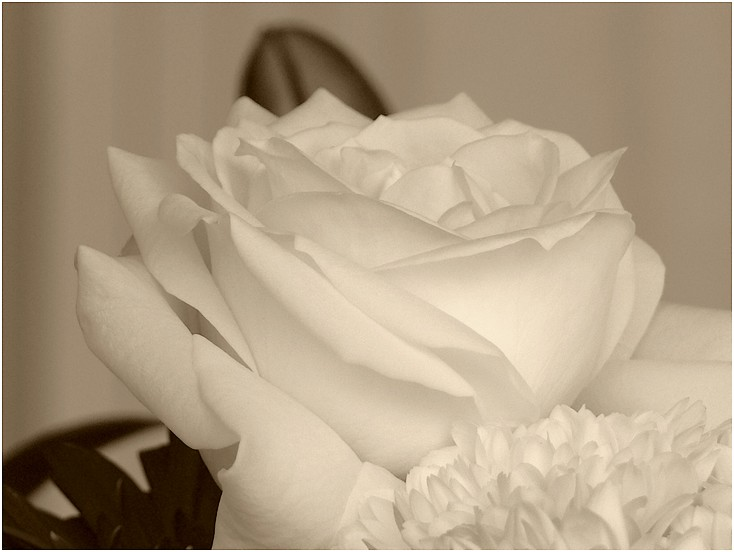 Rose blanche. 09031708151345323328397