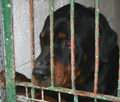Noujoum mâle rott 6 ans cardiaque - SPA Douai - ADOPTE - 09042609003436973550385