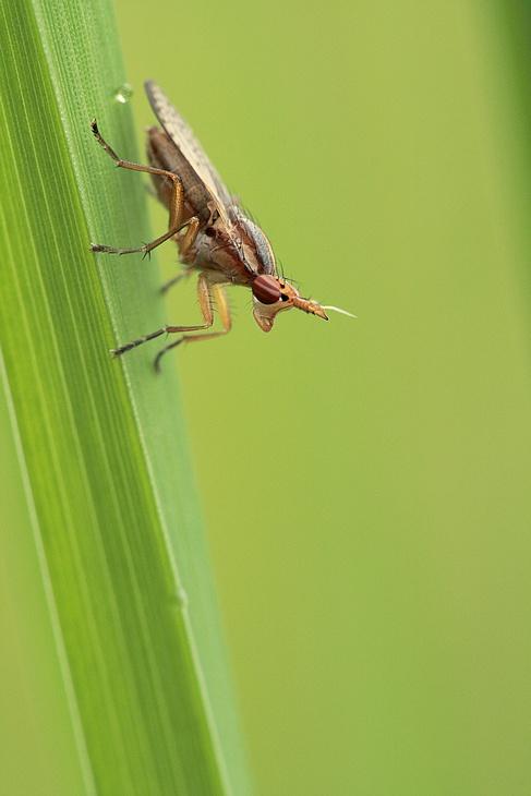 [Limnia unguicornis] De jolis yeux rayés 090514011948281863658129
