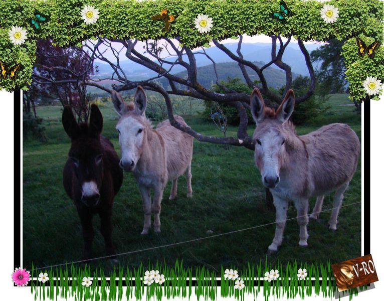 Les ânes © V-RO