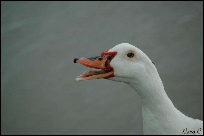 Le canard de Barbarie 090522013502352193709677