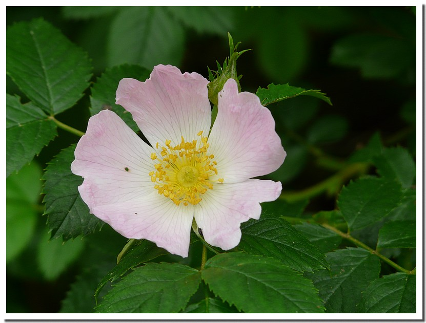 fleur sauvage - Page 3 090526054027123973737854