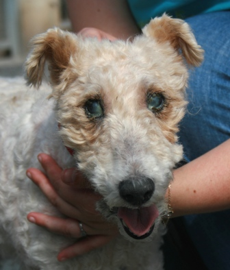 NINIE femelle fox terrier 10 ans aveugle SPA DOUAI 59 - ADOPTEE - 09070605415136974021957