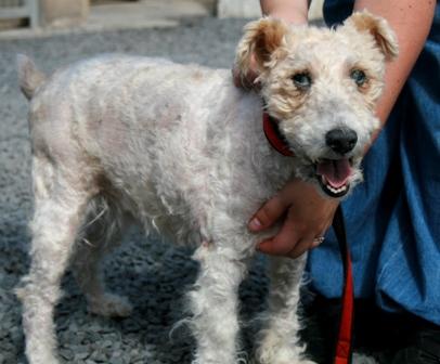 NINIE femelle fox terrier 10 ans aveugle SPA DOUAI 59 - ADOPTEE - 09070605415236974021959